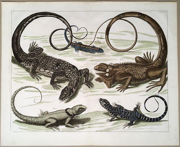 SEBA, Albertus. - Reptiles:  5 species of Lizards.
