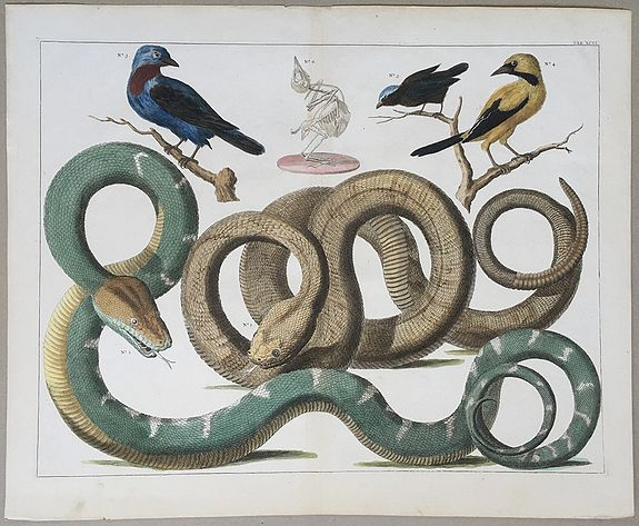 SEBA, Albertus., [Snakes and Birds.], antique map, old maps