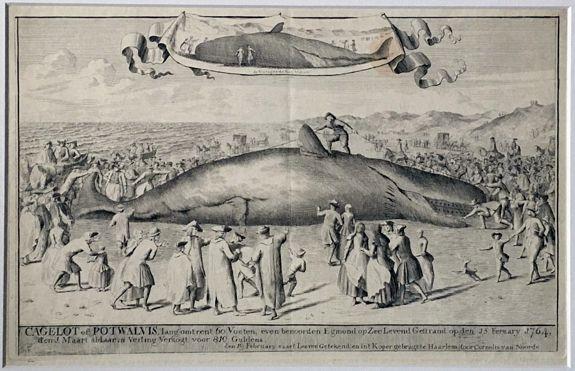 NOORDE, Cornelis van. - Cagelot of Potwalvis , lang omtrent 60 voeten, even benoorden Egmond op Zee Levend Gestrand op den 15 february (!) 1764. . .