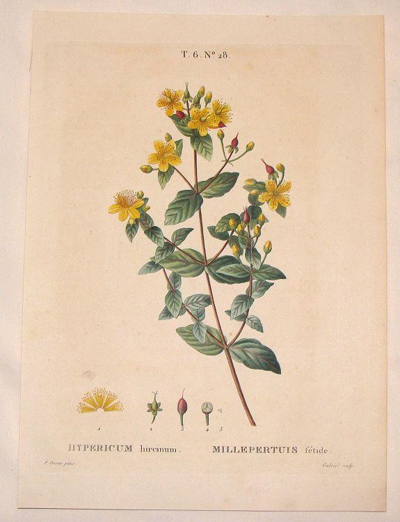 BESSA, P. - Hypericum Hircinum, Millepertuis Setide.