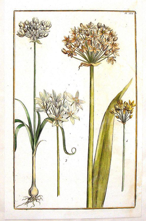 RABEL, D. - Daniel Rabel Yellow & White Lilly - Pl. XXX.